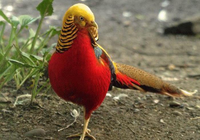 почему фазан клюет самку
